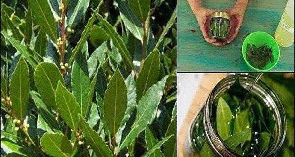Λίγοι άνθρωποι γνωρίζουν τα πολύτιμα οφέλη που έχουν τα φύλλα δάφνης για την υγεία μας. Μπορούμε να χρησιμοποιήσουμε τα φύλλα δάφνης για να παρασκευάσουμε ένα εξαιρετικό φαρμακευτικό λάδι, το οποίο διαθέτει πολλές ευεργετικές ιδιότητες και