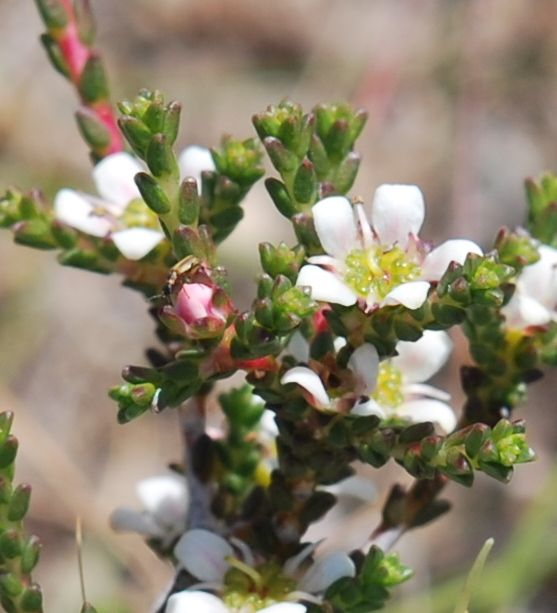 Flowers of Diosma (Rutaceae) from the overberg, Photo Charles Stirton. http://www.ispot.org.za/sites/default/files/images/10193/42b3fc9740f68f9e2a3fadb113421a62.jpg