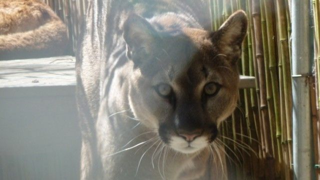 Top Cats: How Pumas and Other Apex Predators Populations Affect The Big Biodiversity Picture