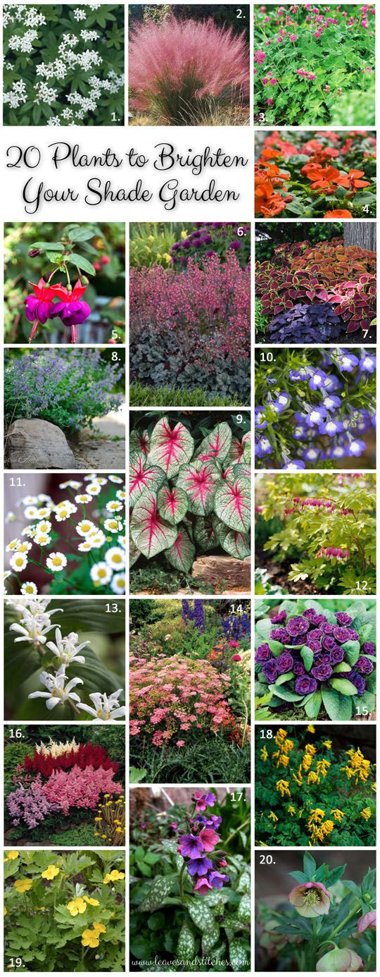 Shade Garden Plants 1.Sweet Woodruff 2.Cotton Candy Grass 3. Bigroot Geranium 4. Impatiens 5. Fuchsia 6. Coral Bells 7. Coleus 8. Catnip 9. White Queen Caladium 10. Lobelia 11.Feverfew 12.Bleeding Heart 13.Toad Lily 14.Meadowsweet 15.Miss Indigo Primrose 16.Astilbe 17.Pulmonaria (Lungwort) 18.Yellow Corydalis 19.Celandine Wood Poppy 20.Hellebore