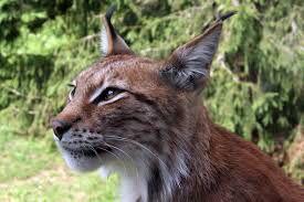 Oren van lynx