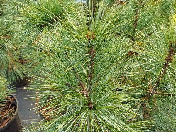 Pinus koraiensis 'Silveray'