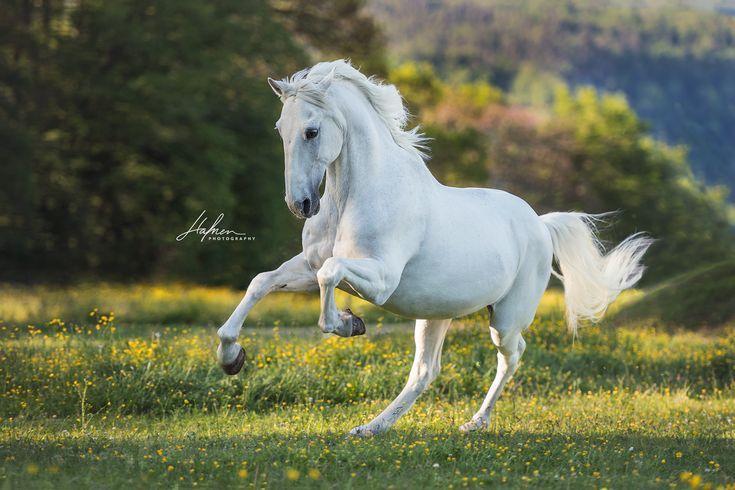 Weisser Lusitano Wallach galoppiert im Frühling über die Blumenwiese | Schimmel | Pferd | Bilder | Foto | Fotografie | Fotoshooting | Pferdefotograf…