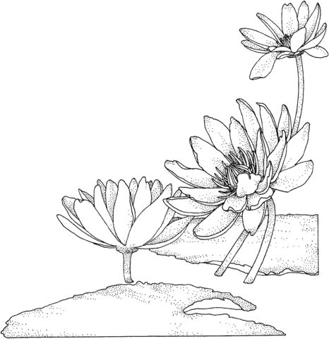 Nymphaea or Water lily Coloring page | Free Printable Coloring Pages