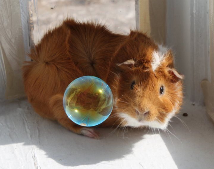 Guinea Pig with Bubbles 1 by ~HappyInLove621 on deviantART