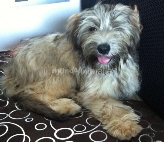 Droy - Gos d'Atura Català - Perro de Pastor Catalán - mundoAnimalia.com
