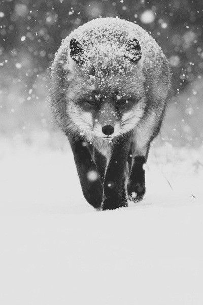 : Snow Foxes, Weights Loss Diet, Winter Wonderland, Beautiful, Silver Foxes, Weights Loss Tips, Red Foxes, Animal