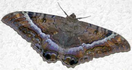 """Black Witch Moths – Female. Find """"9"""" on wings. Most noted on forewings. Number 9 of Witchcraft."""
