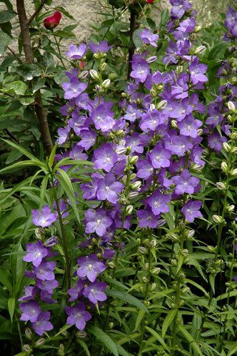 Les 20 meilleures id es de la cat gorie fleurs bleues for Planter en anglais