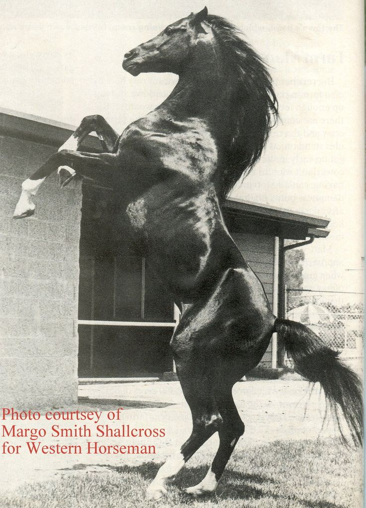 Cass Ole...the stallion that was cast as The Black, in the Black Stallion movies.