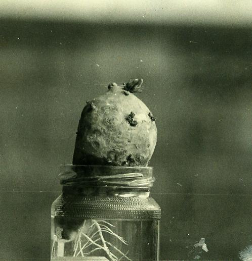 """Ceci devait figurer à la suite de l'article """"pour avoir la patate"""", mais l'éditeur d'over-blog en a décidé autrement. Voici une photo, rescapée d'un panneau réalisé avec mes élèves, relatant la croissance d'une patate. Nous mesurions les tiges matin et..."""