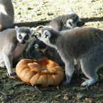 Weekend spécial au @ZoodeJurques : deux jours pour célébrer #Halloween avec les pensionnaires du parc !  https://www.francebleu.fr/loisirs/evenements/jurques-le-zoo-fete-halloween-1477142151pic.twitter.com/NOAk9hGSB8