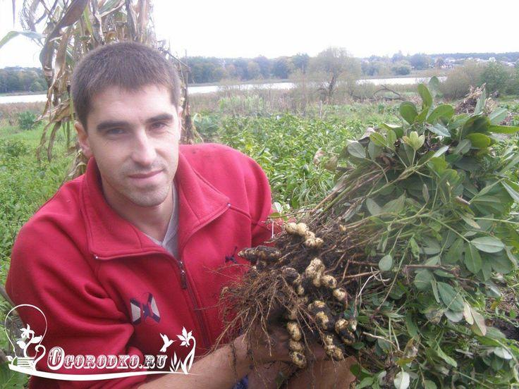 КАК ВЫРАСТИТЬ АРАХИС НА ДАЧЕ    Арахис является однолетним травянистым растением, относящимся к семейству бобовых.  Вырастить арахис на даче не составит особого труда, следует лишь запомнить несколько правил.    Лучше всего выращивать районированные сорта арахиса. Семена лучше покупать в специализированных отделах, - купленные на рынке могут быть завезены из другой климатической зоны, а для выращивания в данной местности они не всегда подходят.  Вегетационный период культуры приходится на…