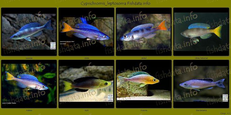 Cyprichromis Leptosoma Utinta Google Search Studio Iv Aquarium Pinterest Search Php