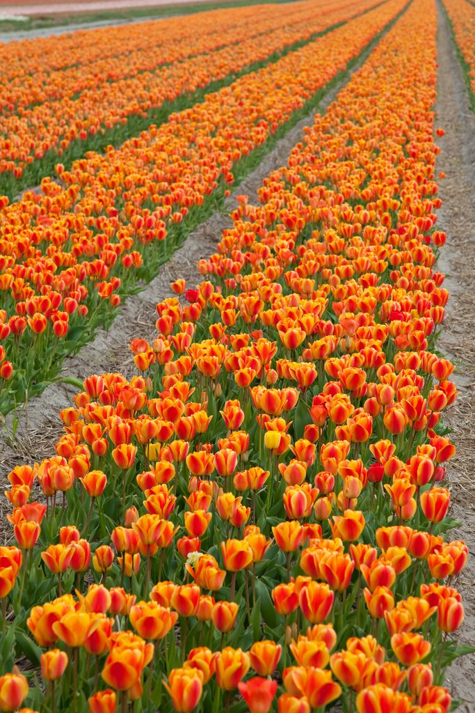 Netherlands 604 best keukenhof images on Pinterest