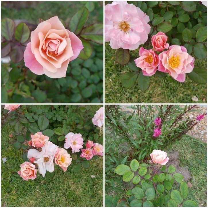 My beautiful roses...