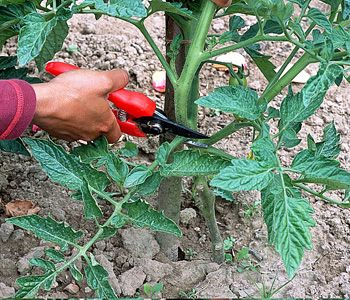Tailler un pied de tomates - Effeuiller les tomates
