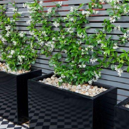 Sterjasmijn/Toscaanse jasmijn, Trachelospermum Jasminoides