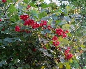 Kalyna is a Ukrainian symbol also called guelder rose