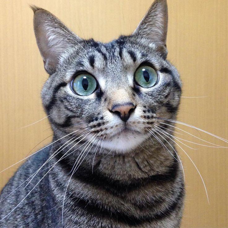 Happy Whiskers Wednesday!✨. . ボクの自慢のお髭ニャ. . #cat#neko#catsofinstagram#キジトラ#サバトラ#whiskers