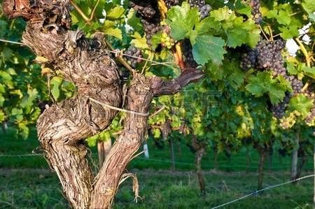 Old vines in a German vineyard Stock Photo