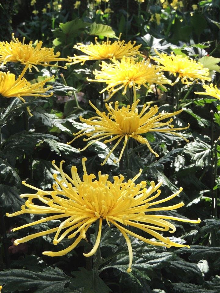 chrysanthemum x morifolium - photo #18