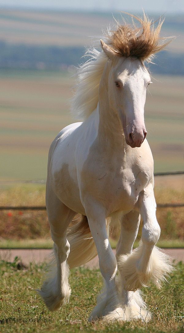 Pearly Erwyn, a two-year-old buckskin and white colt/stallion, with a pearl gene, hence his lighter colouration and blue eyes. Photo by Corinne Eisele.