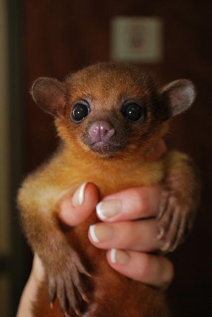 25 best KINKAJOU! ♥ images on Pinterest   Exotic animals ...