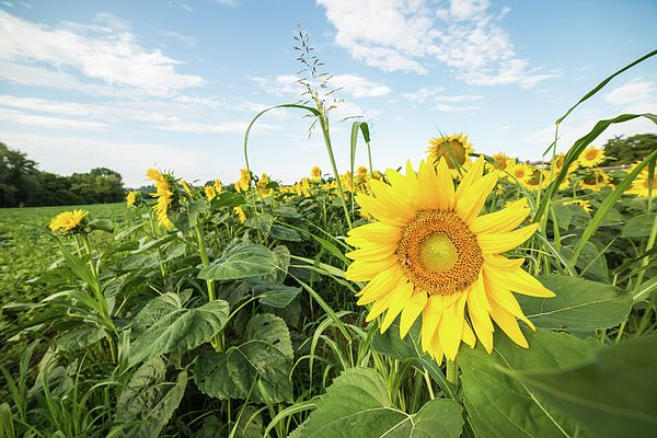 The bee's dance. Sunflowers in the field. Sun and life.