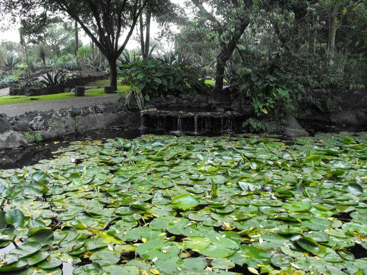 Lirios acuáticos, jardín botánico UNAM. /Water lilies in UNAM. <3
