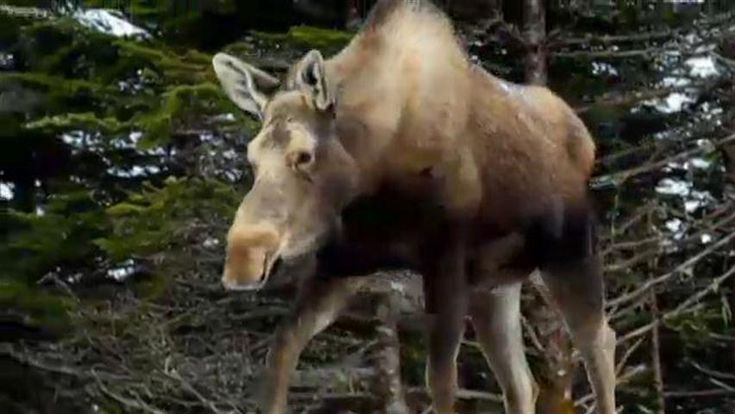 Maritime moose sex corridor gets land donation   The Nature Conservancy of Canada has received 316 hectares of private land from a former top diplomat to promote cross-border moose love along the Nova Scotia-New Brunswick boundary.