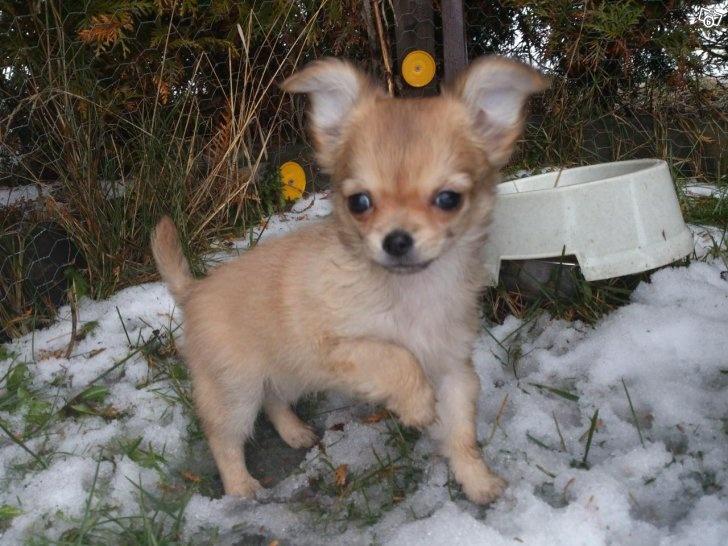 Chihuahua valpar (REG SKK)