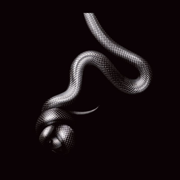 Mexican Black Kingsnake by Mark-Laita
