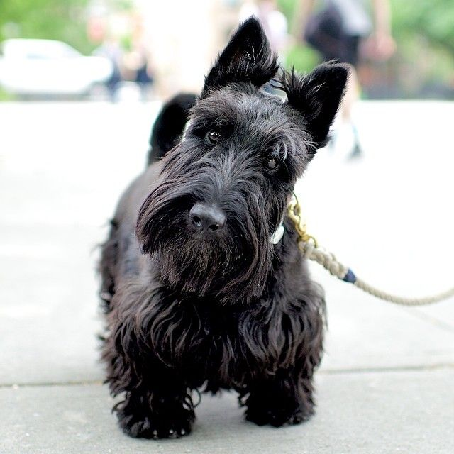 Wallace, Scottish Terrier, Houston  6th Ave, New York, NY