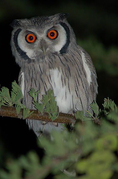 Southern White Faced Scops Owl