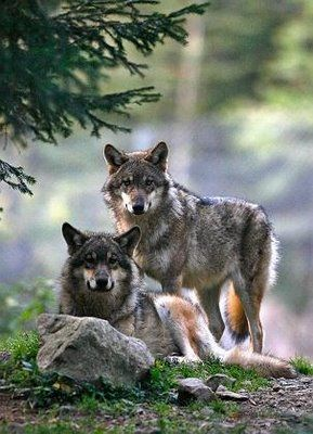 coyotes in NM waaay bigger then ks/ok                                                                                                                                                                                 Más
