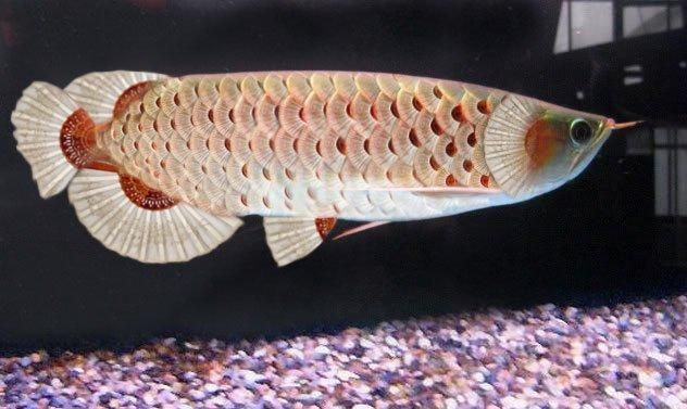look at the detail on this white arowana. too pretty to be real!!