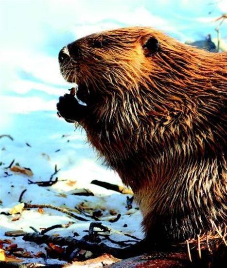 Avec ses anecdotes, ses comparaisons, ses jeux, ses fiches techniques et bien plus encore, ce nouveau volume de la collection Je sais tout t'apprendra tout ce qu'il y a à savoir sur les animaux qui peuplent le Canada, des multiples talents du carcajou au nombre d'espèces de chauve-souris, en passant par la façon de différencier un ours noir d'un grizzli. Après l'avoir lu, tu pourras affirmer :MAINTENANT, JE SAIS TOUT SURLES ANIMAUX DU CANADA !