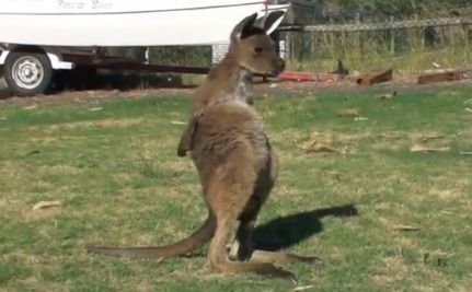 Meet Frank the Super Cute Joey Kangaroo  At the time of this video, Frank was an orphaned joey kangaroo of about 9 months old. He loved spending time in a makeshift pouch made of a sewn up fleece top inside a shopping bag.  The adorable Frank later moved on to live with other orphan joeys who were being rehabilitated back into the wild before relocating to a national park.