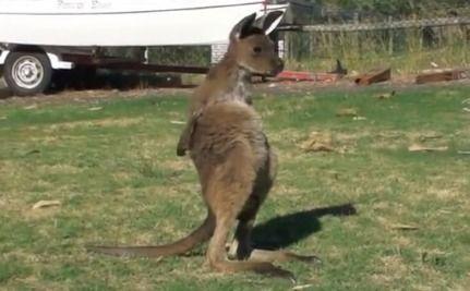 Daily Cute: Meet Frank the Super Cute Joey Kangaroo