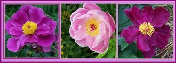 How to Grow Peonies from Seed