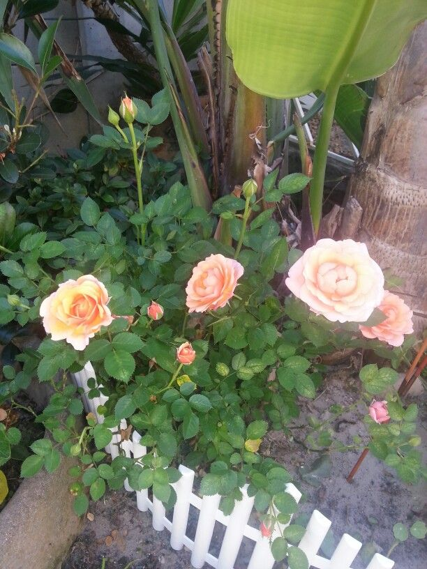 Rose blooms the first summer