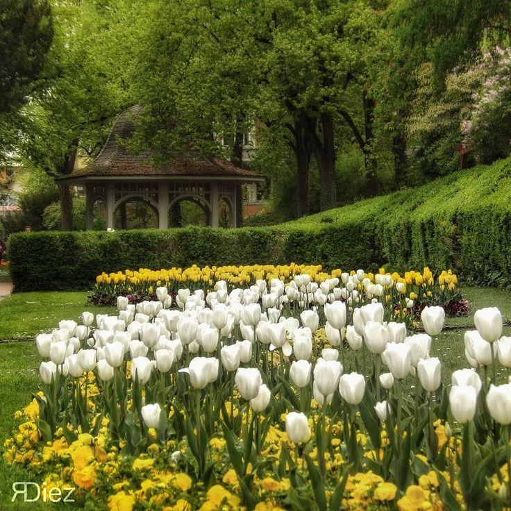 Citygarden in Radolfzell this year...  Happy Sunday!  .  .  #nature  #meinuntersee #bodenseepage #erlebnisnatur   #citygarden #tulips #spring #jardínmunicipal #tulipanes #blanco #amarillo #primavera #glorieta #stadtgarten #stadtgartenradolfzell  #blumen #tulpen #frühling  #kodak_photo #kodakpixpro #AZ362