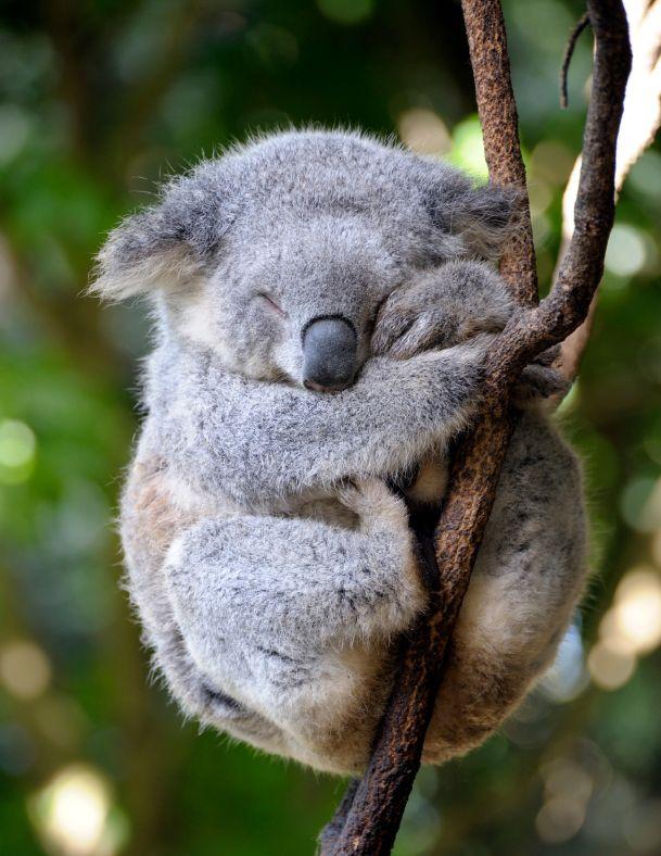 Los koalas son tan lindos ¡que los estamos matando!