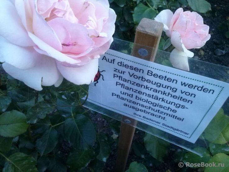 Розы со знаком ADR :: Таблица с названиями сортов и фото. Энциклопедия роз