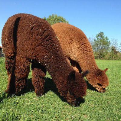 Piccolo Alpaca Blog: Alpaca e piedi freddi 1