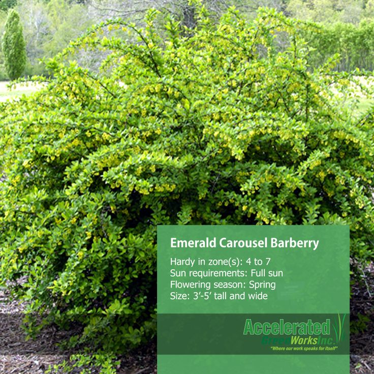 Emerald Carousel Barberry Shrubs Pinterest Emeralds
