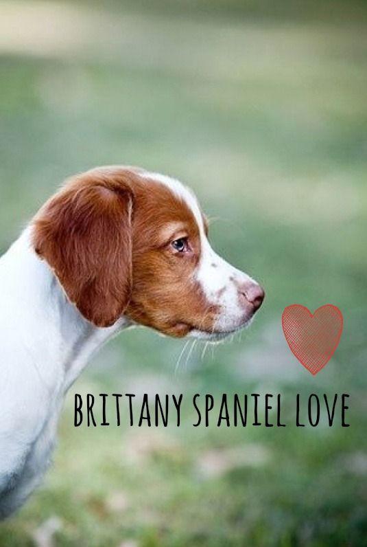 brittany spaniel love