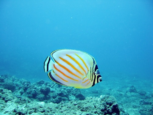 31 best tropical fish images on pinterest for Tropic fish hawaii