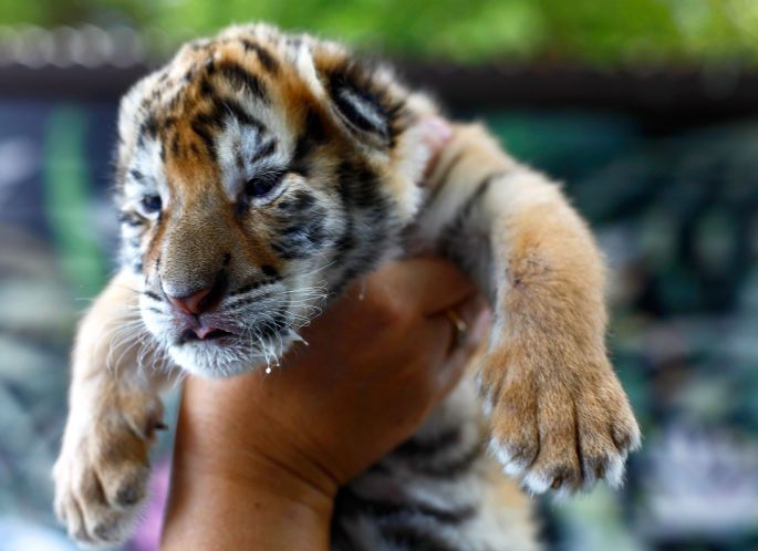 Dade City zoo ordered to stop letting tourists swim with tigers
